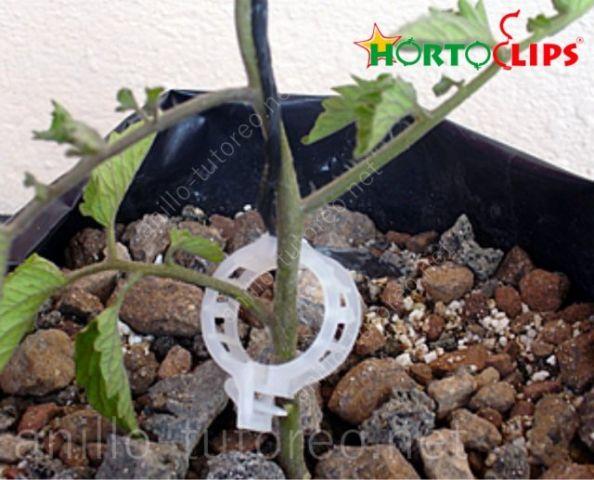 Anillo de tutore y rafia sosteniento planta de tomate joven