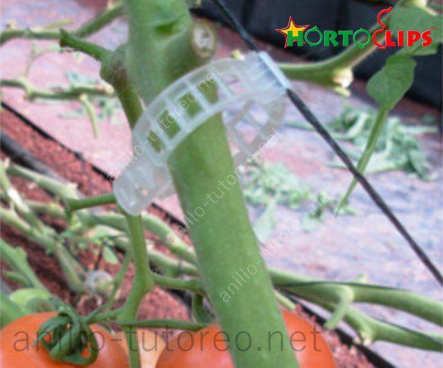 Anillo de tutoreo y rafia, sosteniendo tallo de planta de tomate
