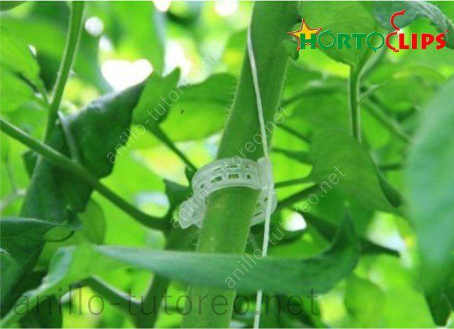 Anillo de tutoreo y rafia sujetando planta de tomate por el tallo acercamiento