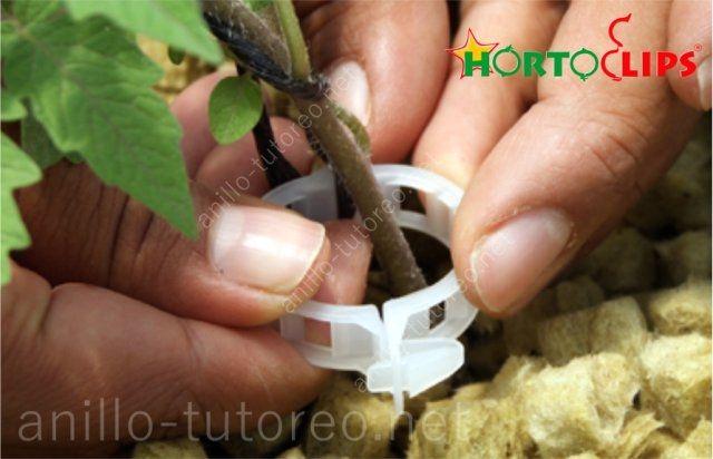 Colocación de anillo tutor a base de tallo en planta joven