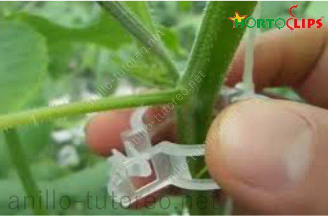 Colocación de anillo tutor en plantas