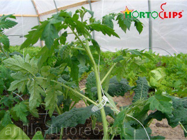 Cultivo de tomate en sistema holandés sostenido con raifa ya anillo tomatero