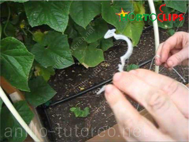 Instalación manual de anillos tutores en cultivo
