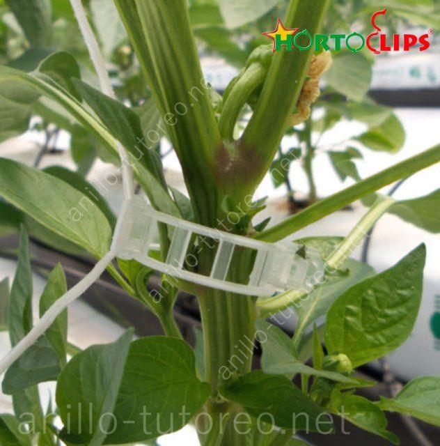 Planta de pimiento con anillo de tutoreo y rafia de soporte