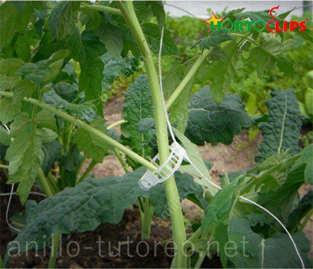 Planta de tomate sostenida con rafia y anillo de tutoreo