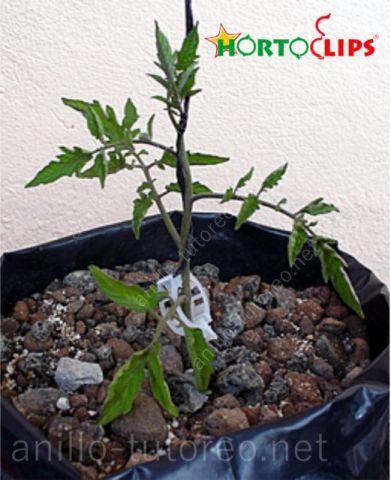 Planta de tomate tierna en maceta, preparada para entutorado holandés con rafia y anillo tutor