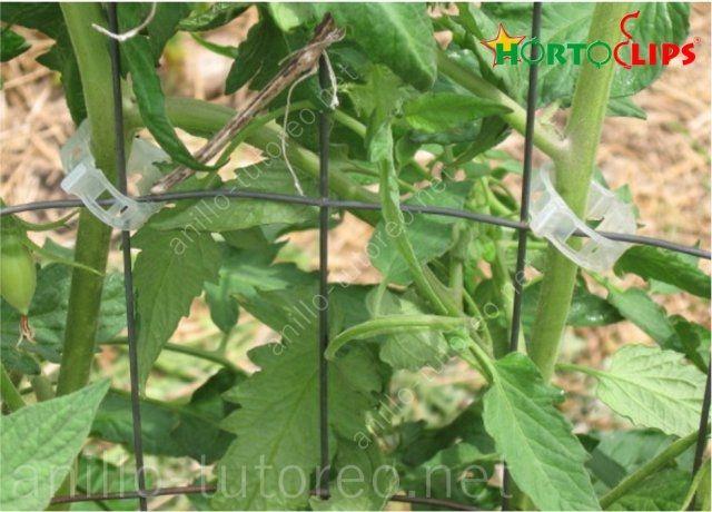 Plantas de tomate sostenidas con anillo tutor a jaula en cultivo