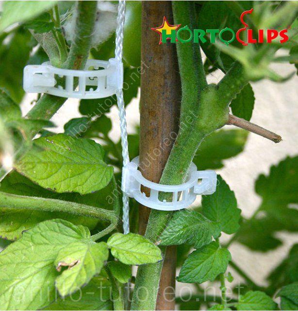 Tallo de hortaliza con anillos de tutoreo como sistema de soporte