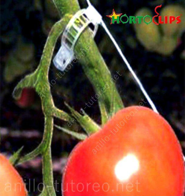 Tomate, pedúnculo y rafia close up sistema de cultivo holandés
